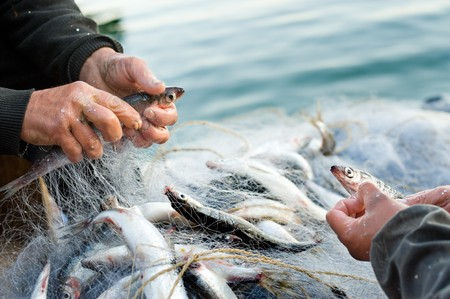 net fishing: hands take fish out of a net