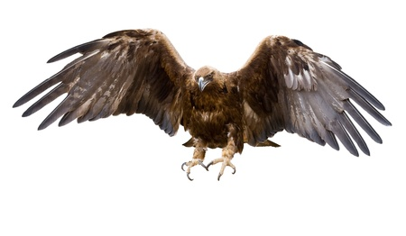 prey: a golden eagle with spread wings, isolated Stock Photo