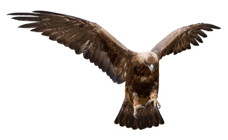 a golden eagle with spread wings, isolated Stock Photo