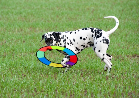 a young Dalmatian plays with a colourful ring at a green field Imagens