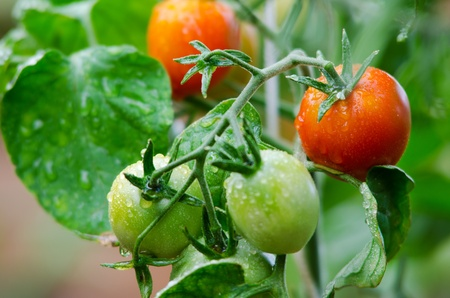 red and green tomatoes grow on twigs Stock Photo