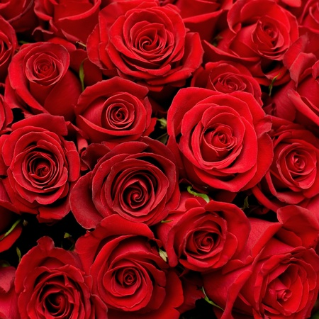 luxuriant: many red roses shot in shallow DOF