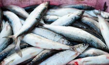 limnetic: a fish catch - Baikal Arctic ciscos, just caught Stock Photo