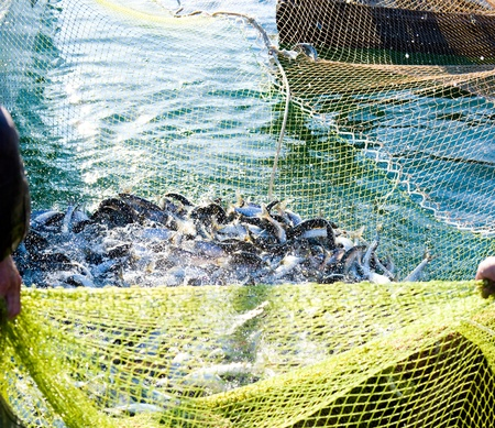 fishers pull out a net with fish