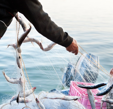 fishers hands take a net with fish photo