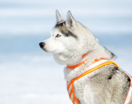 a Siberian husky dog in a harness photo