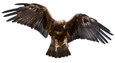 eagle feather: a golden eagle with spread wings, isolated over white