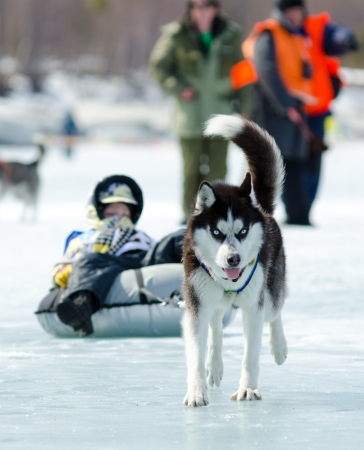 YARTSI, RUSSIA - APRIL 14  At annual Baikal Fishing the 1st Mushing on inner tubes was run, Apr 14, 2012, Yartsi, Buryatia, Russia  Siberian husky dog Zinger pulls an identified girl on a tube on ice