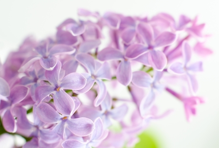 a branch of lilac flowers, macro shot Stock Photo - 14115185