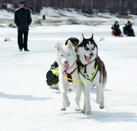 YARTSI, RUSSIA - APR 14  At annual Baikal Fishing the 1st Mushing on inner tubes was run, Apr 14, 2012, Yartsi, Buryatia, Russia  Siberian husky dogs Zinger and Michael pull an identified kid on ice