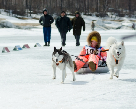 YARTSI, RUSSIA - APR 14  At annual Baikal Fishing the 1st Mushing on inner tubes was run, Apr 14, 2012, Yartsi, Buryatia, Russia  A Siberian husky and a Samoyed pull an identified girl on ice