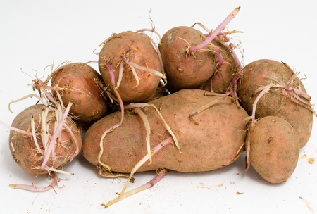 germinating: some germinating potatoes with big long sprouts