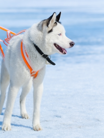 a white Siberian husky dog with black ears in a harness photo