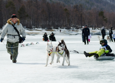 mushing: YARTSI, RUSSIA - APR 14: At annual Baikal Fishing the 1st Mushing on inner tubes was run, Apr 14, 2012, Yartsi, Buryatia, Russia. Siberian husky dogs Zinger and Michael pull an identified kid on ice.