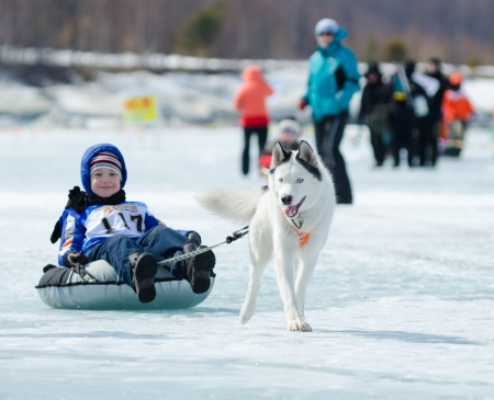 YARTSI, RUSSIA - APRIL 14  At annual Baikal Fishing the 1st Mushing on inner tubes was run, Apr 14, 2012, Yartsi, Buryatia, Russia  A Siberian husky dog pulls an identified boy on a tube on ice