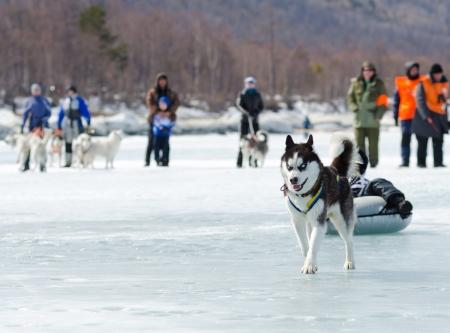 mushing: YARTSI, RUSSIA - APRIL 14  At annual Baikal Fishing the 1st Mushing on inner tubes was run, Apr 14, 2012, Yartsi, Buryatia, Russia  Siberian husky dog Zinger pulls an identified girl on a tube on ice