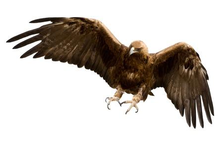 aguilas: un �guila de oro con las alas extendidas, aislado m�s de blanco Foto de archivo