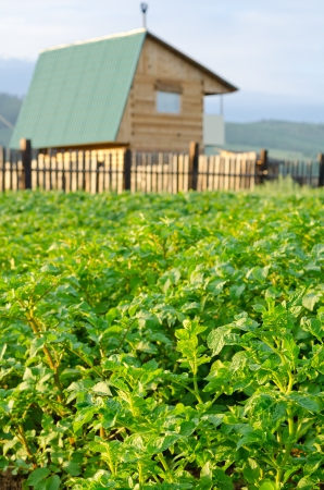 dacha: green potato plants at countryside field