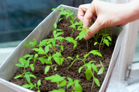female hands hold young tomato seedlings in a box photo