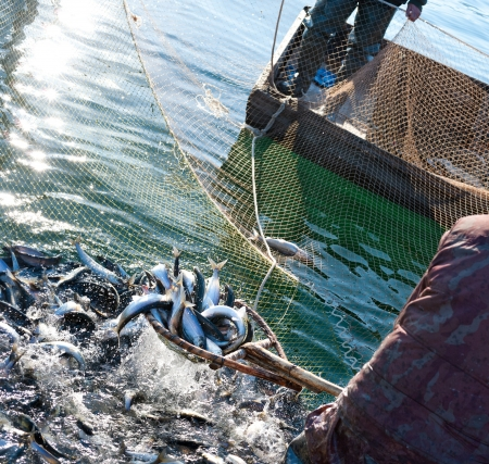 commercial fisheries: a fisherman scoops up fish from a net