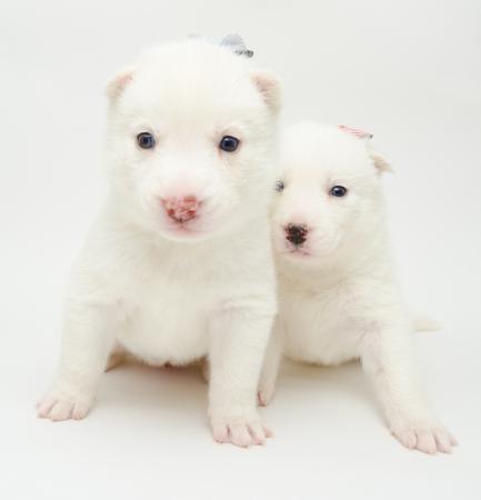 looking into camera: due piccoli cuccioli husky bianco guardando la telecamera