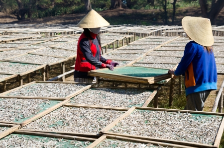 fishery: sun drying of anchovies - two Vietnamese women turn net frames with fish over Stock Photo