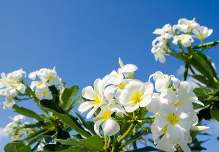 overpowering: white flowers of frangipani  Plumeria , against blue sky