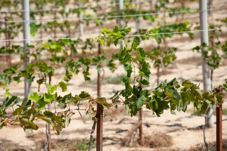 offshoot: offshoot on young small vine in vineyard, sunny day