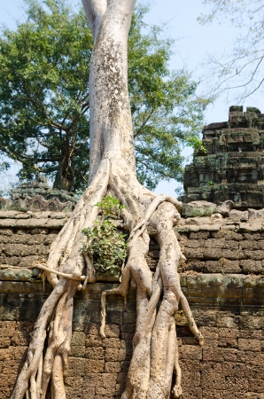 kingly: banyan rooting just in stones of ancient Angkor