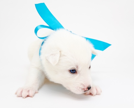 a small white husky puppy with a blue ribbon Stock Photo - 19221081