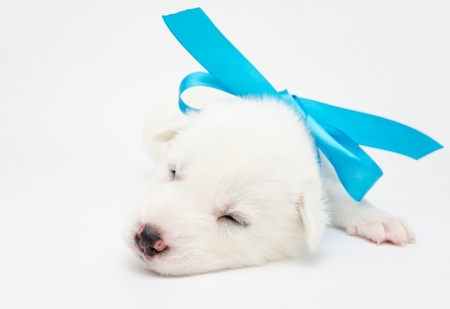 small sleeping white husky puppy with blue ribbon Stock Photo - 19221082