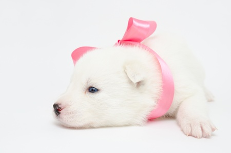 a small white husky puppy with a pink ribbon Stock Photo - 19382841