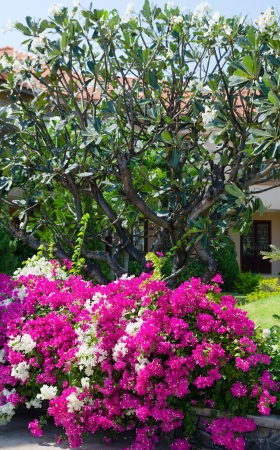 blooming tropical shrubs with white and purple flowers, southern Vietnam Stock Photo - 19382803