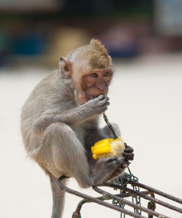 small monkey sittting at bicycle and eating boiled corn Stock Photo - 19382713