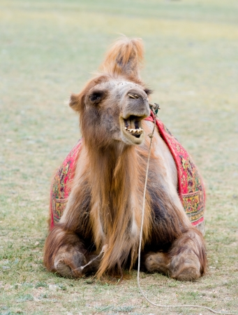 maltreatment: Mongolian camel sitting on the ground with open mouth Stock Photo