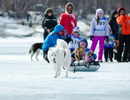 mushing: YARTSI, RUSSIA - APRIL 14: At annual Baikal Fishing the 1st Mushing on inner tubes was run, Apr 14, 2012, Yartsi, Buryatia, Russia. A Samoyed dog pulls an identified girl on a tube on ice. Editorial