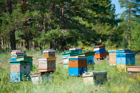 siberian pine: apiary  bee garden  in Siberian forest, on summer sunny day Stock Photo