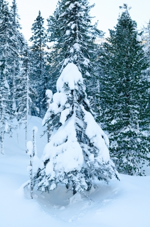 firtree at winter wild snow covered forest photo