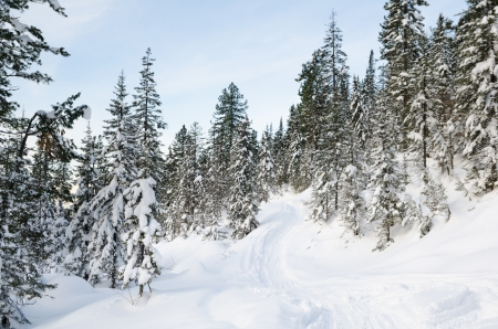snowy wild firtree forest on a winter day photo