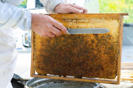 off cuts: beekeeper cuts wax off from honeycomb frame Stock Photo