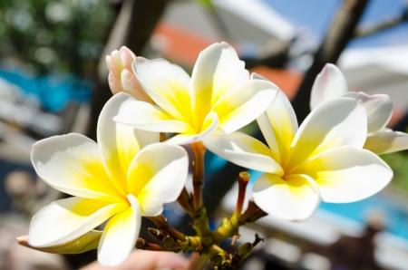 overpowering: blooming flowers of frangipani  Plumeria , closeup shot Stock Photo