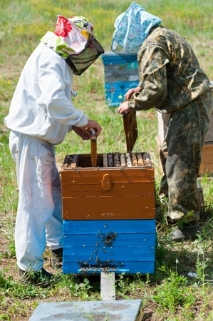 beekeeping: two beekeepers take honeycomb frames out from beehives