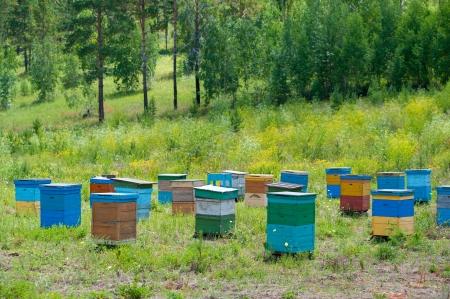 bee garden: jard�n abeja apiario en el bosque de Siberia, en d�a soleado de verano