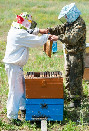 two beekeepers take honeycomb frames out from beehives photo