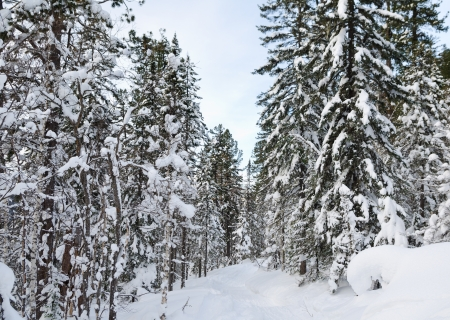 winter wild snow covered firtree forest photo