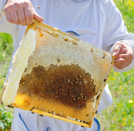 beekeeper demonstrates honeycomb frame full with honey photo