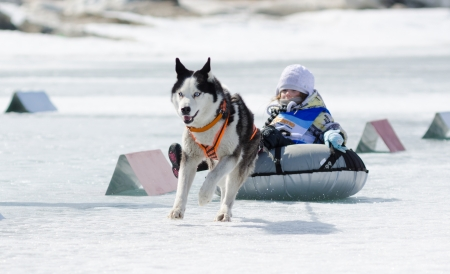 YARTSI, RUSSIA - APRIL 14  A Siberian husky dog pulls an identified girl on a tube on ice, Apr 14, 2012, Yartsi, Buryatia, Russia  At annual Baikal Fishing the 1st Mushing on inner tubes was run