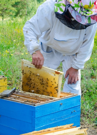 beekeeper: beekeeper takes honeycomb frame out of beehive Stock Photo