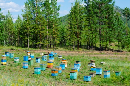 beekeeping: apiary  bee garden  in Siberian forest, on summer sunny day Stock Photo