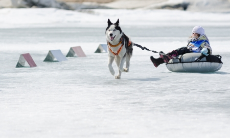 identified: YARTSI, RUSSIA - APRIL 14  A Siberian husky dog pulls an identified girl on a tube on ice, Apr 14, 2012, Yartsi, Buryatia, Russia  At annual Baikal Fishing the 1st Mushing on inner tubes was run